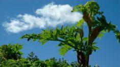 Angelica: pianta potente e protettiva