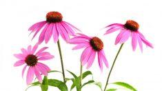 Echinacea, un valido alleato del sistema immunitario