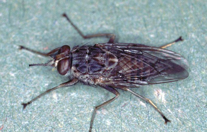 Ecco gli otto insetti più letali del Pianeta