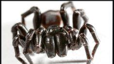 I sette ragni più pericolosi e velenosi del mondo (+video)