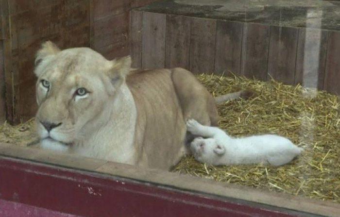 Rari cuccioli di leone bianco nati in Francia (Video)