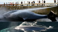 Il Giappone riapre la caccia alle balene in spregio alla Corte Internazionale di Giustizia
