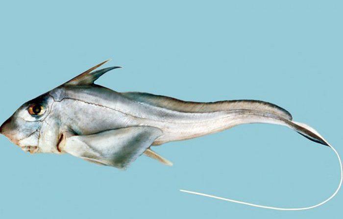 Il filmato dello squalo di 300 milioni di anni fa
