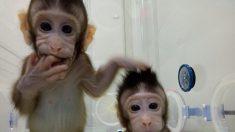 Clonate per la prima volta due scimmie