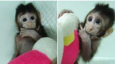 La comunità internazionale condanna la clonazione di scimmia in Cina
