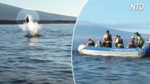L'orca gioca con la tartaruga (prima di mangiarsela)