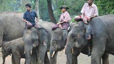 La triste sorte degli elefanti in Birmania