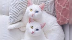 Due gatti gemelli con degli occhi molto particolari diventano famosi su Instagram