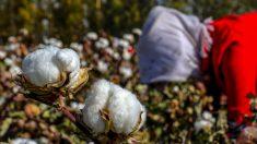 Usa, stop a cotone e pomodori dallo Xinjiang per contrastare il lavoro forzato