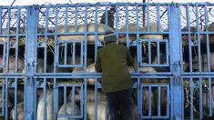 L'epidemia di peste suina africana colpisce lo Xinjiang in Cina