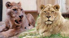 A 3 anni dal salvataggio il leone Ivan, prima moribondo, è oggi un «vero Re»