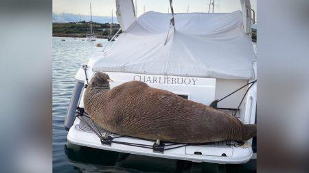 """Inghilterra, la siesta del tricheco """"Wally"""" sugli yacht del porto"""